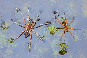 Raft Spiders (Dolomedes fimbriatus) on surface of moorland pool. Highlands, Scotland, October.  -  Alex Hyde