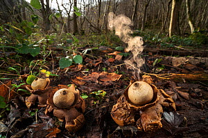 Collared earthstar (Geastrum triplex) fungus growing on forest floor. Spores are ejected when the fungus is disturbed, such as by falling raindrops. Peak District National park, Derbyshire. UK. Novemb...  -  Alex Hyde