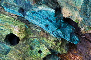 Green elfcup fungus (Chlorociboria aeruginascens) visible as blue/green staining in rotting hazel wood (Corylus avellana). The colour visible here results from the mycelium. Peak District National Par...  -  Alex Hyde