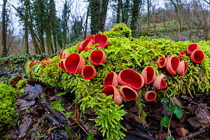 Scarlet Elf Cup fungus (Sarcoscypha coccinea) growing on moss-covered fallen tree. Lathkill Dale SSSI, Peak District National Park, Derbyshire, UK. January.  -  Alex Hyde