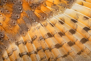 Feather detail of dead Barn Owl (Tyto alba). Derbyshire Dales, UK. January. Focus stacked image.  -  Alex Hyde