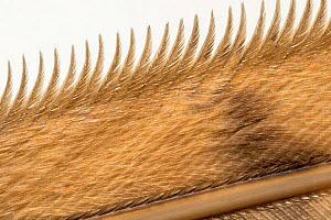 Barn Owl (Tyto alba) wing detail (dead individual). Showing tiny barbs which muffles the sound of the air flowing over the owl's wing to allow them to fly almost silently. Derbyshire Dales, UK. Ja...  -  Alex Hyde