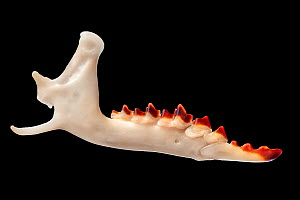 Mandible of Common Shrew (Sorex araneus) retrived from soil under a Barn Owl (Tyto alba) roost. The red tooth enamel contains iron, which adds strength. The iron is concentrated in regions of the toot...  -  Alex Hyde