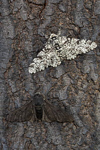 Peppered moth (Biston betularia) showing a comparison of the melanistic form f. carbonaria next to the typical paler form on dark soot-covered bark. The melanistic form has long been cited by genetic...  -  Alex Hyde