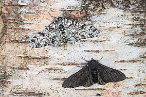 Peppered moth (Biston betularia) showing a comparison of the melanistic form f. carbonaria next to the typical paler form. The melanistic form has long been cited by genetic studies as an example of i...  -  Alex Hyde