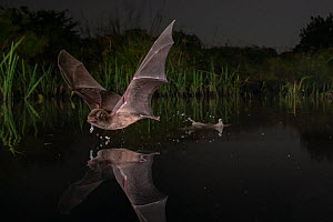 Mozambican long-fingered bat (Miniopterus mossambicus) taking a sip of water in one of the last remaining watering holes at the end of the dry season in Gorongosa National Park, Mozambique.  -  Piotr Naskrecki