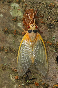 17 year Periodical cicada (Magicicada septendecim) teneral adult Brood X cicada, shortly after molting with exuvia, Maryland, USA, June 2021 Sequence 11 of 12  -  John Cancalosi