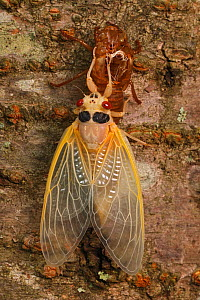 17 year Periodical cicada (Magicicada septendecim) teneral adult Brood X cicada, shortly after molting, Maryland, USA, June 2021 Sequence 12 of 12  -  John Cancalosi