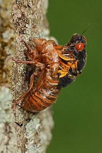 17 year Periodical cicada (Magicicada septendecim) larva molting, adult emerging. Process was arrested emergence due to cold weather, and the adult unable to leave exuvia, Brood X cicada,Maryland, USA...  -  John Cancalosi
