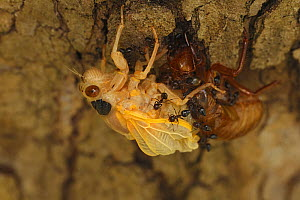 17 year Periodical cicada (Magicicada septendecim) teneral adult Brood X cicada, molting, being attacked and eventually consumed by ants, Maryland, USA, June 2021  -  John Cancalosi