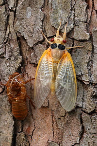 17 year Periodical cicada (Magicicada septendecim) teneral adult Brood X cicada, shortly after molting with exuvia, Maryland, USA, June 2021  -  John Cancalosi