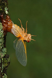 17 year Periodical cicada (Magicicada septendecim) larva molting with teneral adult emerging. However emergence stopped due to cold weather, adult unable to leave exuvia. Brood X cicada. Maryland, USA...  -  John Cancalosi