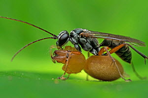Spider wasp (Pompilidae) with spider prey, Buxa Tiger Reserve, India.  -  Ripan Biswas
