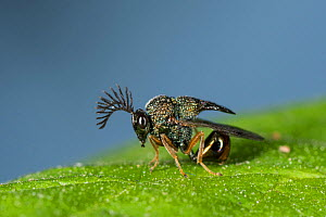 Eucharited Wasp (Eucharitedae) parasitic wasp, which attacks ants, Coochbehar, India.  -  Ripan Biswas
