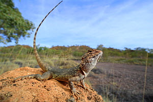 Ring-tailed dragon (Ctenophorus caudicinctus macropus) male, from a stony desert plain near Mount Isa in North West Queensland, Australia. Controlled conditions.  -  Robert Valentic