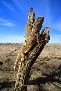 Downs bearded dragon (Pogona henrylawsoni) looking out over his territory on the vast blacksoil plains. Winton, central Queensland, Australia. Controlled conditions.  -  Robert Valentic
