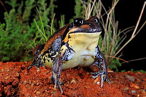 Giant banjo frog (Limnodynastes interioris) female, from the western slopes of the Great Dividing Range near Albury, southern New South Wales, Australia. Controlled conditions.  -  Robert Valentic