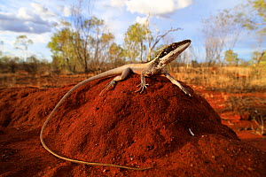 Long-nosed dragon (Gowidon longirostris) male basking on a termite mound near Barkly Homestead in the Northern Territory of Australia. Controlled conditions.  -  Robert Valentic