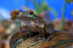 Spotted tree frog (Litoria spenceri) female, Victoria, Australia. Controlled conditions. Critically endangered species.  -  Robert Valentic