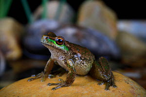 Spotted tree frog (Litoria spenceri) from a forested stream in the highlands of NE Victoria, Australia. Spring, controlled. Critically endangered.  -  Robert Valentic
