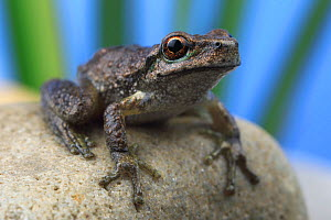 Spotted tree frog (Litoria spenceri) juvenile on a streamside stone in the highlands of north-eastern Victoria, Australia. Controlled conditions. Critically endangered species.  -  Robert Valentic