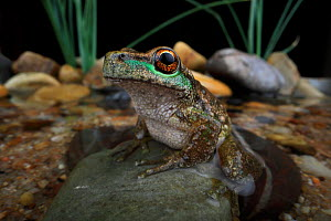 Spotted tree frog (Litoria spenceri) on a streamside stone at night in the highlands of north-eastern Victoria, Australia, spring, controlled, critically endangered species.  -  Robert Valentic