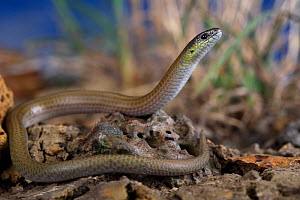Striped Legless Lizard (Delma impar) from volcanic plains habitat in St Albans, a western suburb of Melbourne, Victoria, Australia. Controlled conditions. Endangered species.  -  Robert Valentic