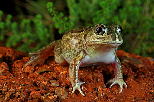 Sudell's frog (Neobatrachus sudellae) male, from the western slopes of the great dividing range near Albury, New South Wales, Australia. Controlled conditions.  -  Robert Valentic