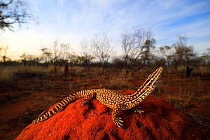 Spiny-tailed monitor (Varanus acanthurus) perched on a termite mound at sundown near the Barkly Homestead in the Northern Territory, Australia. Controlled conditions.  -  Robert Valentic
