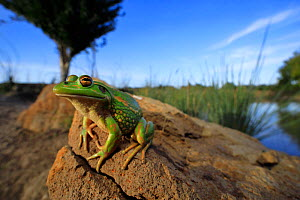 Growling grass frog (Litoria raniformis) basking on a stone at the edge of a rural dam at dusk in Donnybrook, Melbourne, Australia. Controlled conditions.  -  Robert Valentic