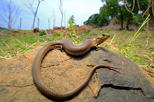 Mainland she-oak skink (Cyclodomorphus michaeli) from Nowra, southern New South Wales, Australia, Controlled conditions.  -  Robert Valentic