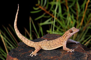 Robust dtella gecko (Gehyra robusta) nocturnally active in the Selwyn Ranges, Mount Isa. North West Queensland, Australia. Controlled conditions.  -  Robert Valentic