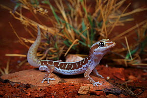 Pale-striped ground gecko (Lucasium immaculatum) male, from a desert sand plain near Mount Isa, North West Queensland, Australia. Controlled conditions.  -  Robert Valentic