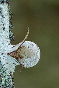 Birch polypore fungus (Piptoporus betulinus) emerging from Silver Birch, New Forest National Park, Hampshire, England, UK October.  -  Guy Edwardes