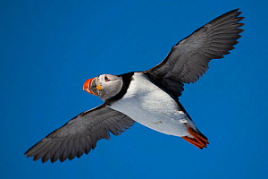 RF - Atlantic puffin (Fratercula arctica) flying, Hornoya, Varanger, Finnmark, Norway (This image may be licensed either as rights managed or royalty free.)  -  Staffan Widstrand