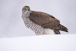 RF - Eurasian goshawk (Accipiter gentilis) juvenile in snow, Vitbergets Nature Reserve, Vasterbotten, Sweden (This image may be licensed either as rights managed or royalty free.)  -  Staffan Widstrand