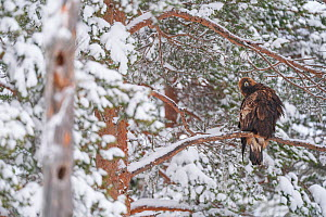 Golden eagle (Aquila chrysaetos) perched in tree in snow, Vitbergets Nature Reserve, Vasterbotten, Sweden  -  Staffan Widstrand