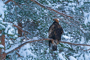 RF - Golden eagle (Aquila chrysaetos) perched in tree in snow, Vitbergets Nature Reserve, Vasterbotten, Sweden (This image may be licensed either as rights managed or royalty free.)  -  Staffan Widstrand