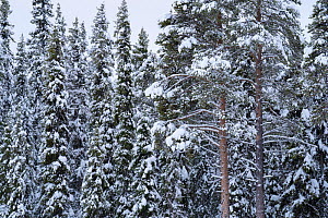 Scots Pines, (Pinus silvestris) and Norway spruce, (Picea abies), Maskaure, Lapland, Sweden  -  Staffan Widstrand