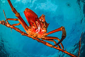 Northern kelp crab (Pugettia producta) clinging to a fallen tree branch off Vancouver Island, British Columbia, Canada.  -  Shane Gross