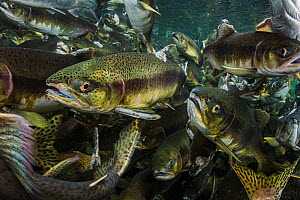 Pink salmon (Oncorhynchus gorbuscha) migrate up river, Vancouver Island, Canada.  -  Shane Gross