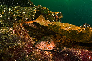 Lingcod (Ophiodon elongatus) rests under the cover of kelp in Nanoose Bay, Vancounver Island, British Columbia, Canada.  -  Shane Gross