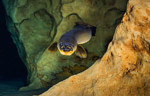 American eel (Anguilla rostrata) in a spring-fed cave, Florida, USA.  -  Shane Gross
