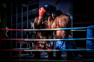 Dressed Orangutans (Pongo sp.) forced to perform in a boxing show for the entertainment of tourists. Safari World near Bangkok, Thailand.  -  Aaron Gekoski