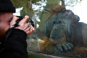 Caged Orangutan (Pongo sp.) being photographed by a visitor, Dudley Zoo, England, UK.  -  Aaron Gekoski