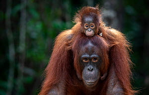 Orangutan (Pongo sp.) mother and baby rescued from entertainment industry, cared for by Borneo Orangutan Survival Foundation (BOSF), Kalimantan, Indonesian Borneo.  -  Aaron Gekoski