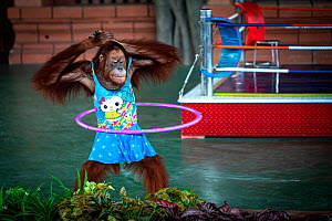 Dressed Orangutan (Pongo sp) forced to perform hulahoop as part of a boxing show for the entertainment of tourists. Safari World, Cambodia.  -  Aaron Gekoski