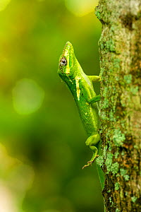 Knight anole (Anolis equestris) climbing up a palm tree, Florida, USA. This is an introduced species from Cuba.  -  Steven David Miller