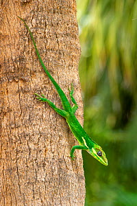Knight anole (Anolis equestris) climbing down a palm tree, Florida, USA. This is an introduced species from Cuba.  -  Steven David Miller
