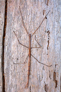 A Margin-winged stick insect (Ctenomorpha marginipennis) clinging to the bark of a tree, its body resembles a eucalyptus twig from the same trees it feeds on, Point Beauty, Tasmania, Australia. March.  -  Steven David Miller